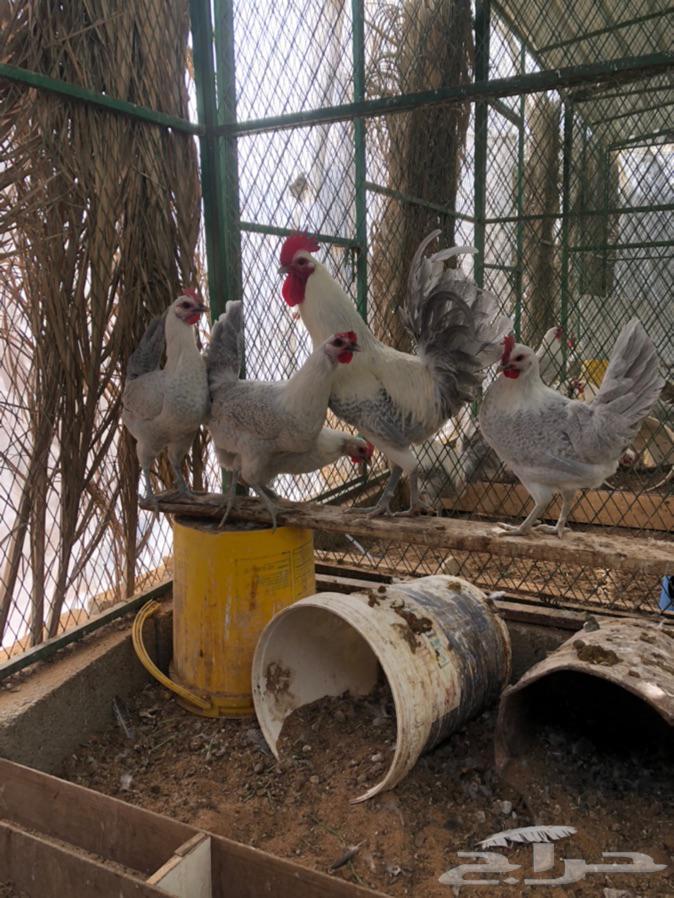 دجاج فيومي المنيوم بياض