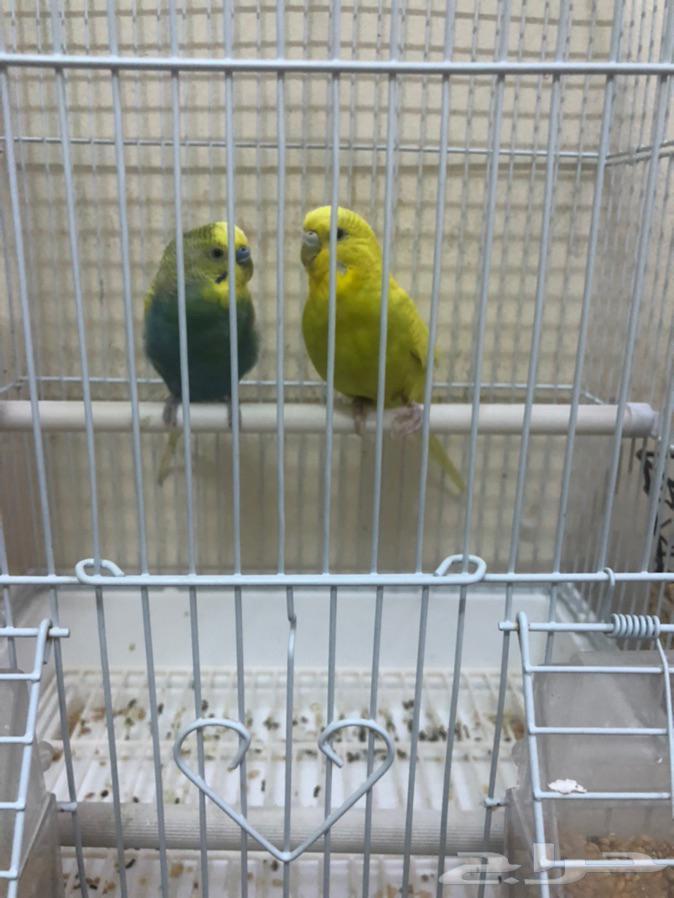 للبيع عصافير طيور