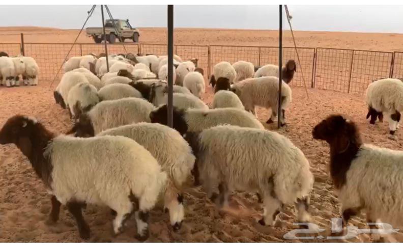 ذبيحة ذبايح هرفي جذع خروف رخل نعيم و تيس تيوس لباني