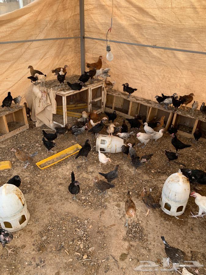 طيور-صوص- موقع الافلاج-يوجد فروخ حمام و ديوك للبيع