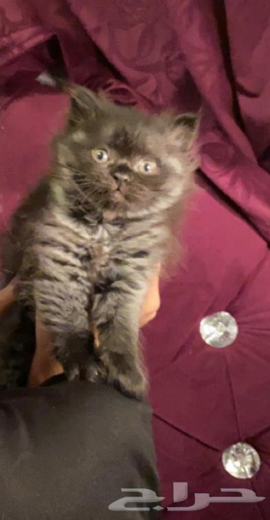 قطط صغيره سكوتش اخر واجمل اثنين