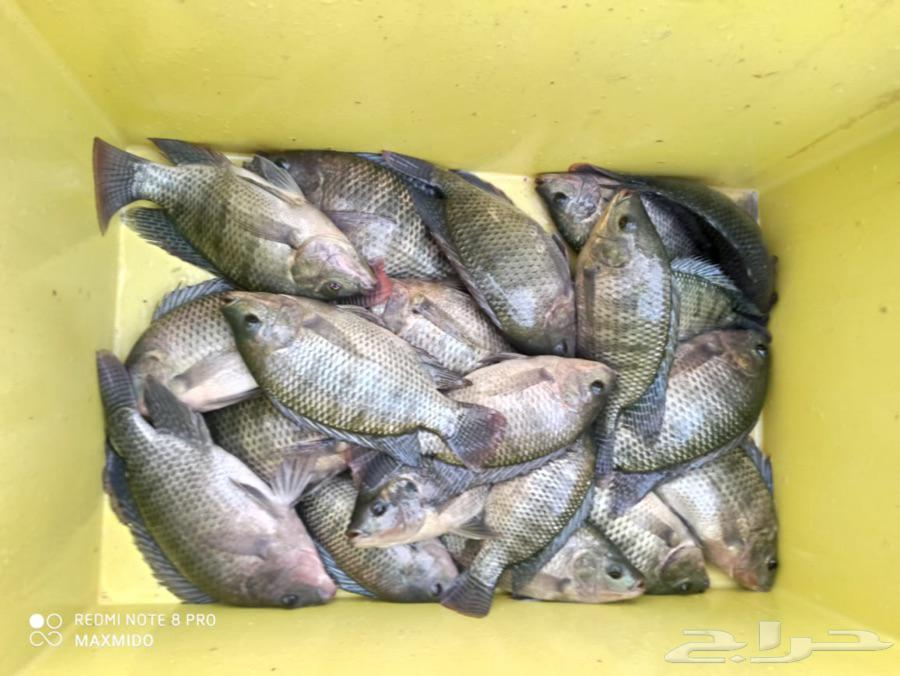 للبيع بالجملة سمك و زريعة بلطي وامهات واصبعيات
