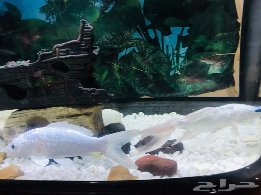 حوض سمك سليم معه درج سفلي سليم   عدد 2 سمك بكامل اغراضه
