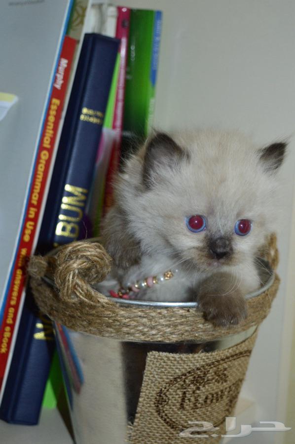 قطط اناث ( همالايا شوكليت مون فيس ) للبيع