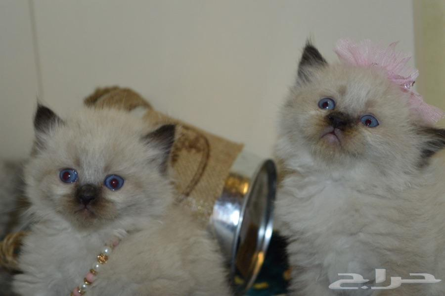 قطة قطط صغيرة ( همالايا شوكليت ) للبيع