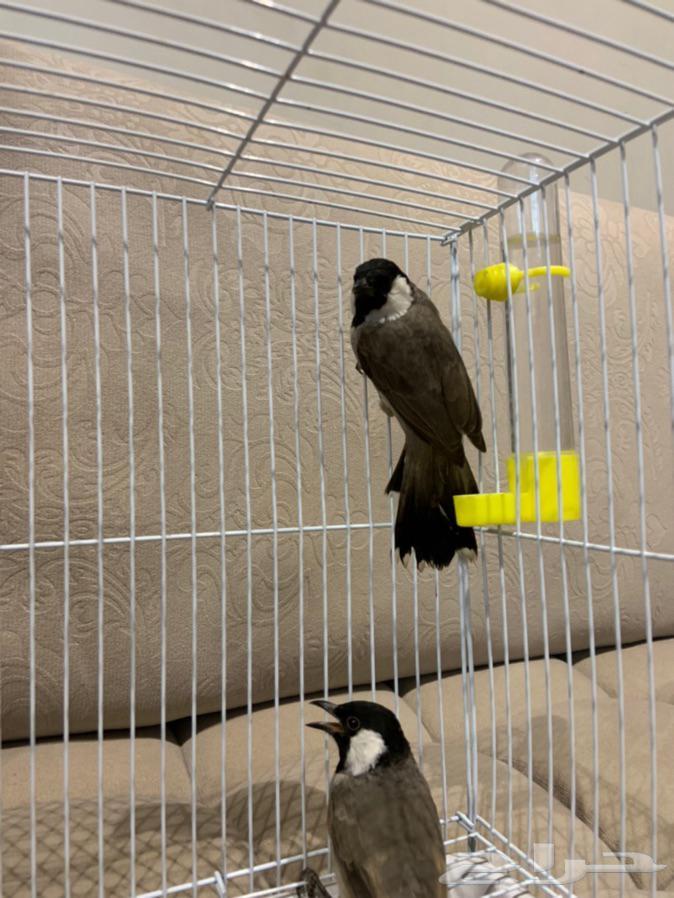 طيور بلابل مغرده