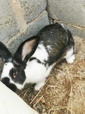 ارانب زوجين