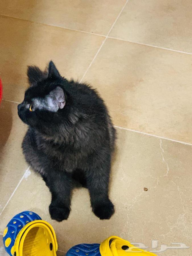 قطط شيرازي للبيع
