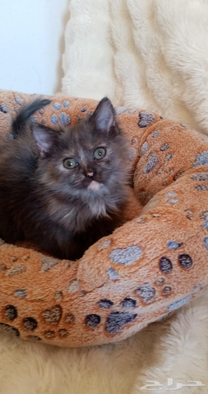 قطط شيرازي هاف تورتيلا
