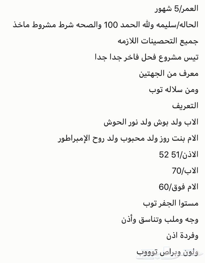 تيس هولندي مشروع فحل العمر خمس شهور الاذان 51-52