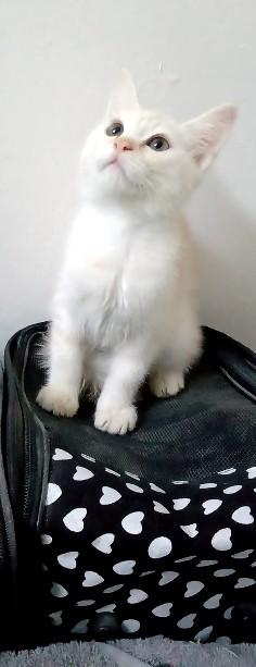 قطة قطط للبيع شيرازي امريكي