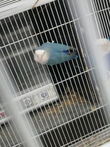 جوز طيور روز