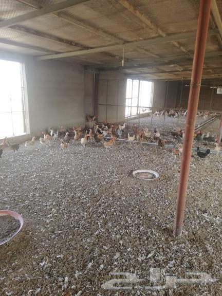 دجاج بلدي بياض جملة من 17