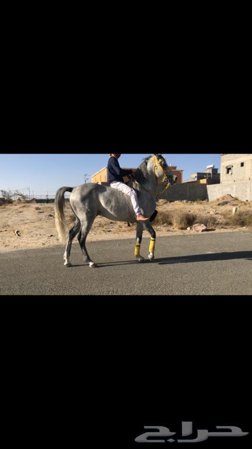 حصان شعبي شيخ ل أهل اطرب