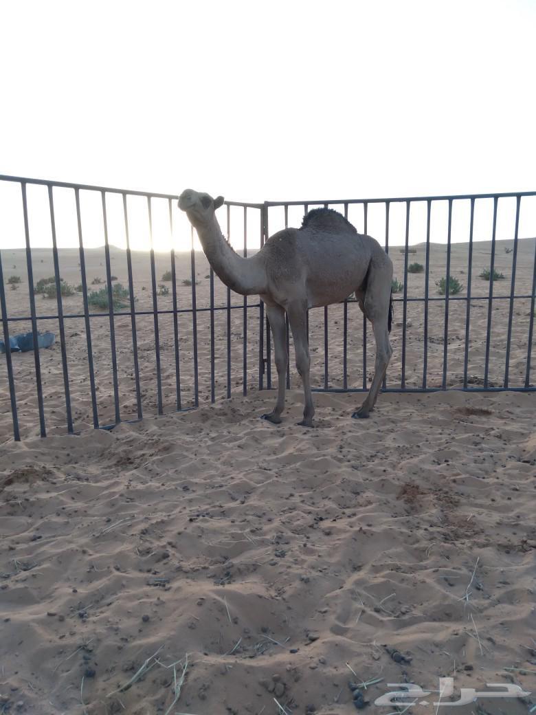 حاشي قصب مفرود