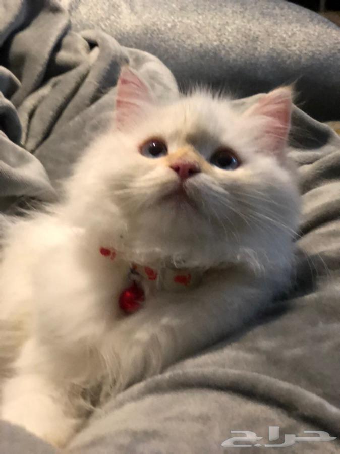 قط همالايا اورنج