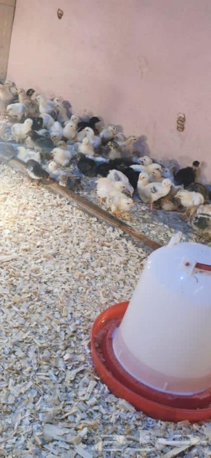 فروخ دجاج بلدي وفييومي