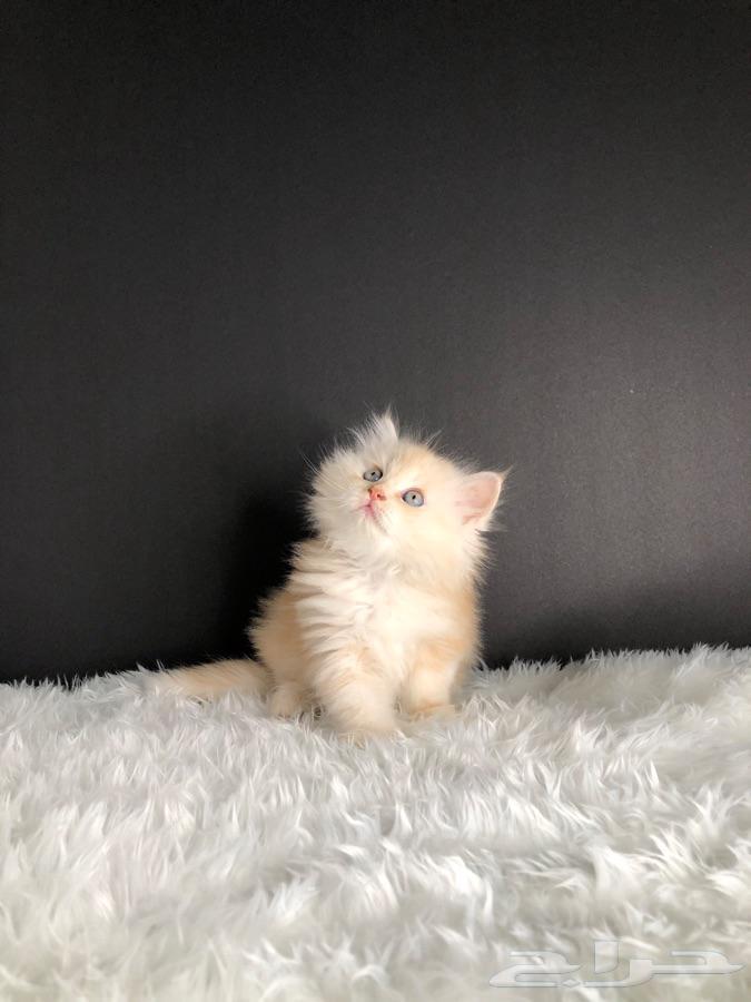 قط كيتن برشن ((تم البيع))