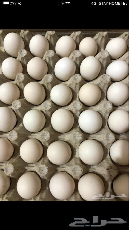 بيض مخصب فرنسي وتركي