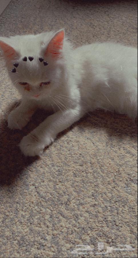 قطه شيرازيه انثى للبيع
