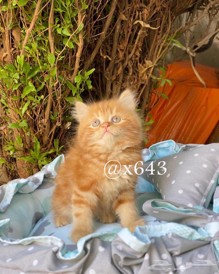 قطط للبيع كتن قطه قط شيرازي بيرشن انثى ذكر