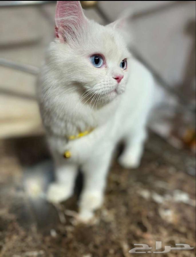 قطط حيوانات اليفه
