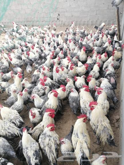 دجاج وديوك فيومي
