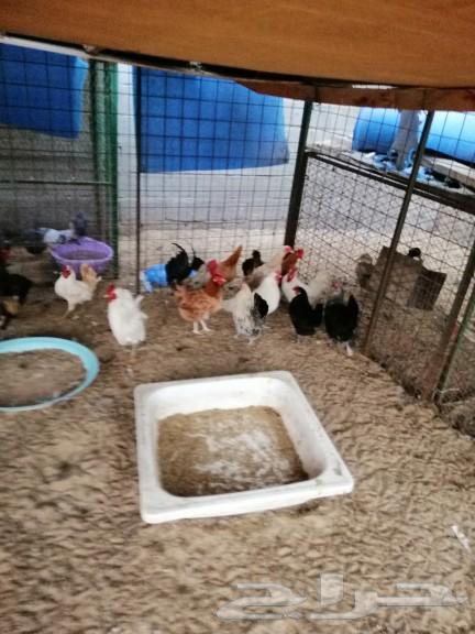 دجاج بلدي منتج