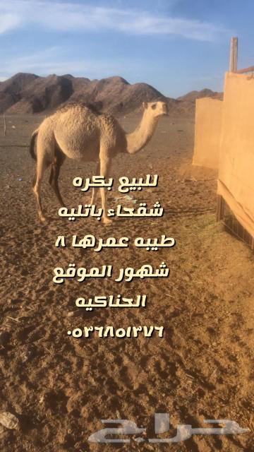 بكره حواره وضحا كفو ج 0536851376