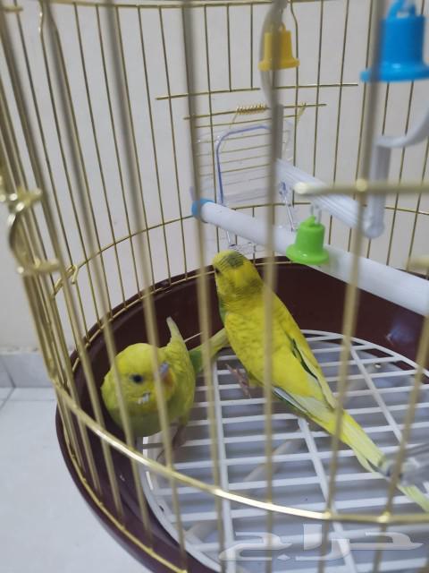 طيور الحب بادجي أحلى هدية لأهل بيتك