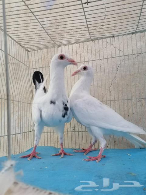 طيور شامية منتجة شرط