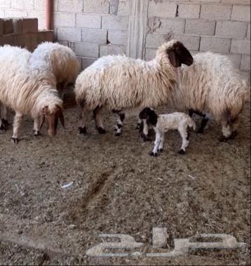 غنم نعيم ولد العدد 4يتبعهن 5وحده توم روم وسلم