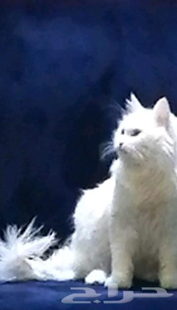 قطه ضايعه فى الطائف